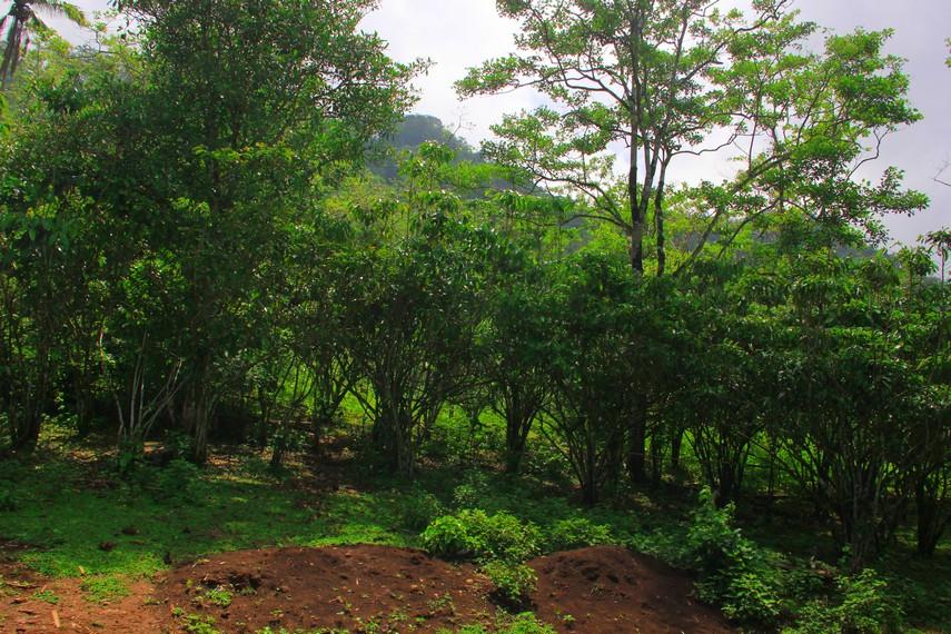 Ladang kopi yang menjadi sumber penghasilan utama masyarakat Desa Tepal