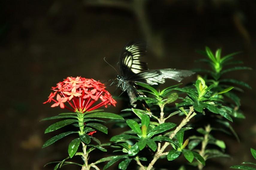 Lebih dari 20 spesies kupu-kupu yang dilestarikan di taman kupu-kupu Bantimurung
