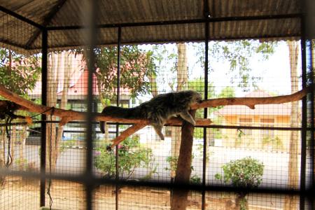 Luwak lucu dan menggemaskan menjadi hiburan tersendiri bagi pengunjung di Bumi Kedaton Resort