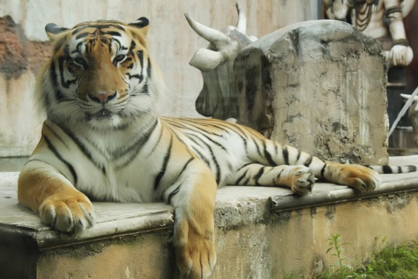 Macan yang menjadi salah satu koleksi di arena Tiger Land