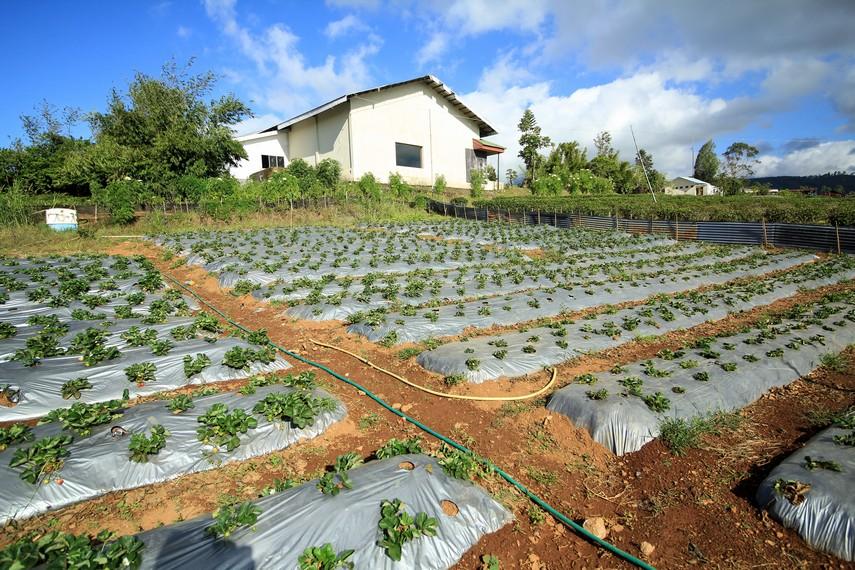 Malino pun menghasilkan buah-buahan dan sayuran khas yang tumbuh di lereng Gunung Bawakaraeng