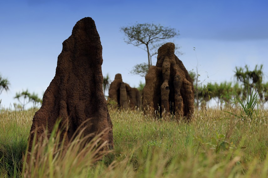 Masamus banyak terdapat di padang rerumputan dan biasanya berjumlah banyak