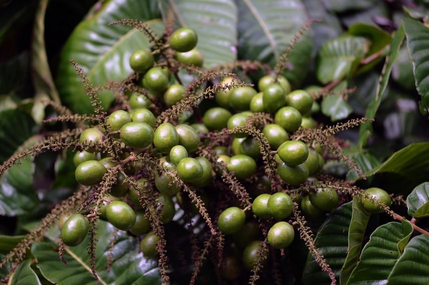 Matoa merupakan tanaman tropis yang hidup di daerah dengan curah hujan tinggi