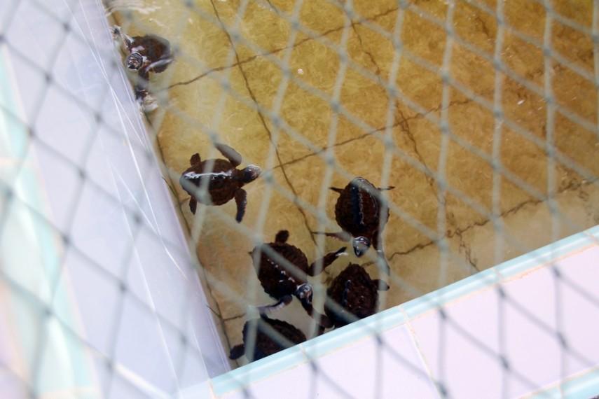 Mengunjungi konservasi penyu dapat menjadi wahana belajar pelestarian lingkungan