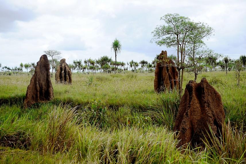 Musamus atau rumah semut yang berada di Merauke