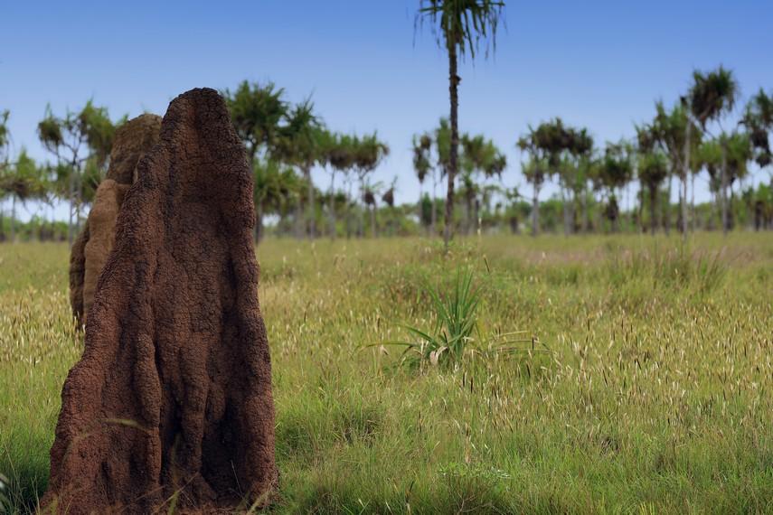Musamus dapat menjulang tinggi hingga 5 meter
