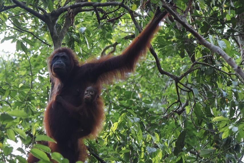 Orangutan bergelantungan bebas di sekitaran hutan kawasan Tanjung Puting