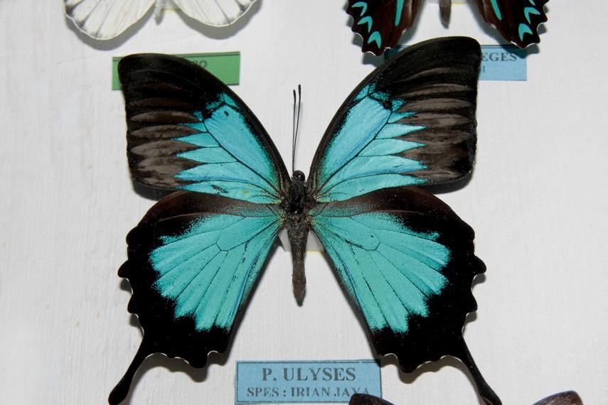 P. Ulyses adalah salah satu koleksi kupu-kupu yang berhabitat asli di Irian Jaya