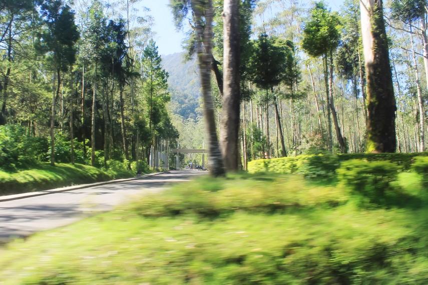 Pemandangan Hutan dengan pepohonan hijau menyambut Anda sebelum sampai ke Kawah Putih