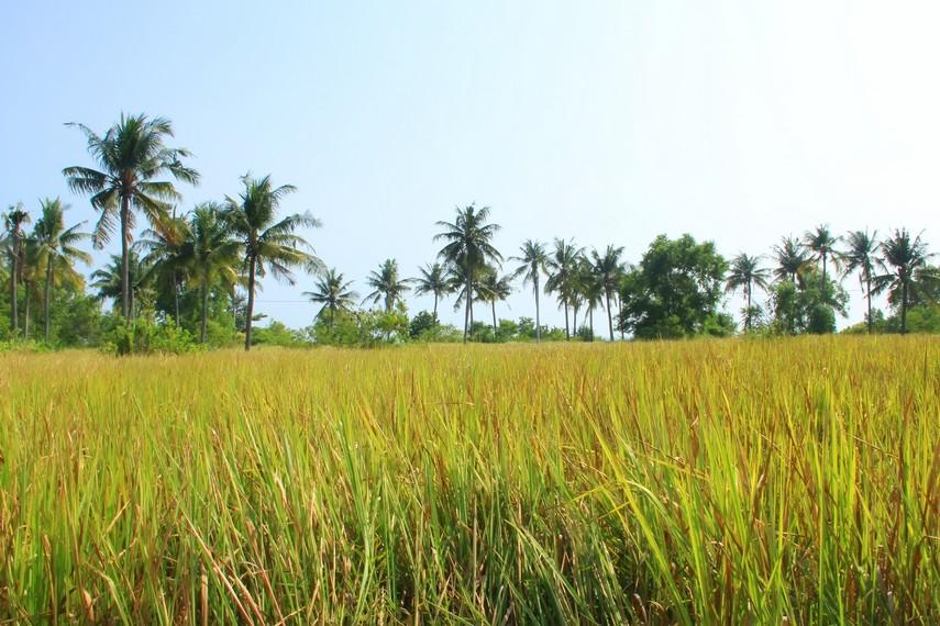 Pemandangan hijaunya persawahan juga bisa dinikmati di sekitar Pulau Tidung