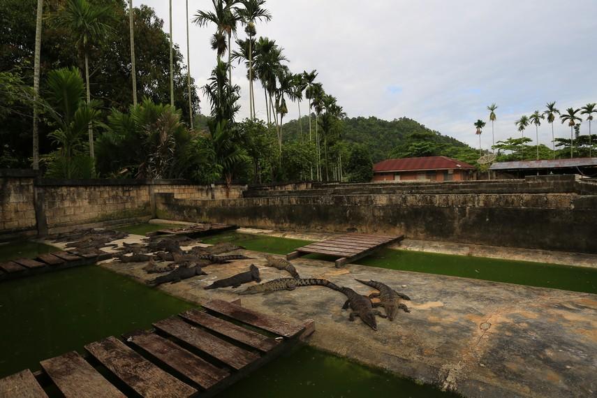 Penangkaran buaya yang siap menjadi bahan dasar pembuatan kerajinan kulit buaya