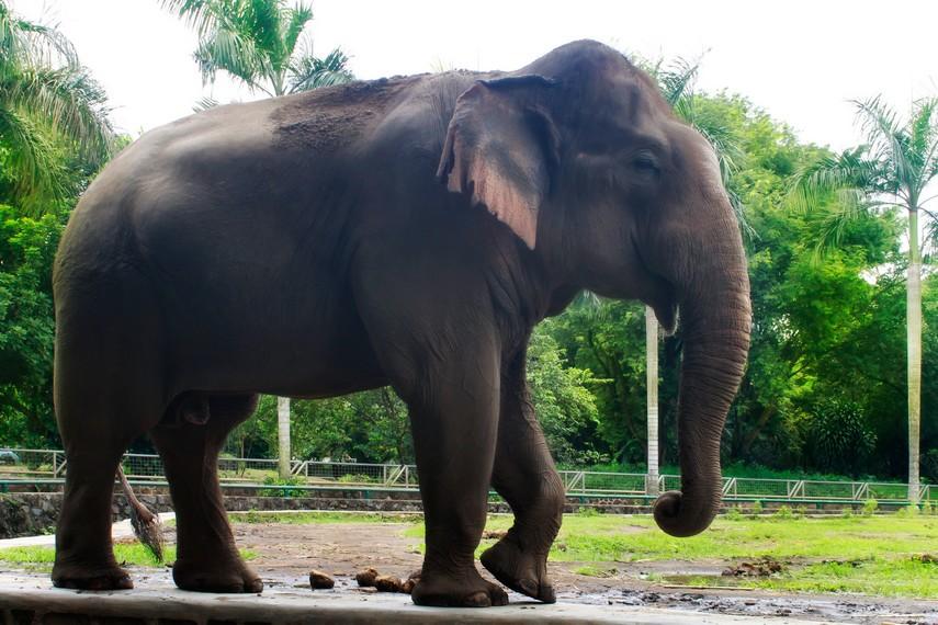 Pengunjung juga dapat melihat Gajah Sumatra di Kebun Binatang Ragunan
