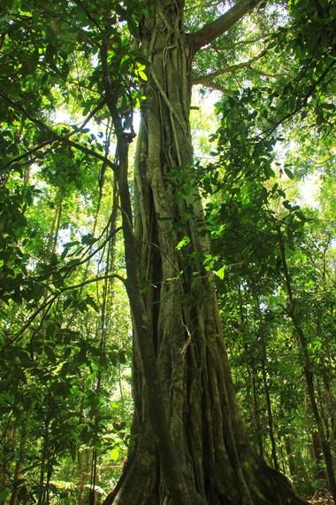 Pohon-pohon besar menjadi salah satu pemandangan yang menemani pengunjung selama berada di Taman Wisata Alam Batu Putih