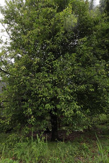 Pohon Pala