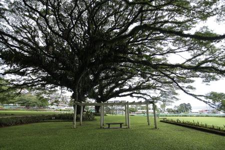 Pohon beringin besar yang menghiasi pemandangan di makam ANZAC