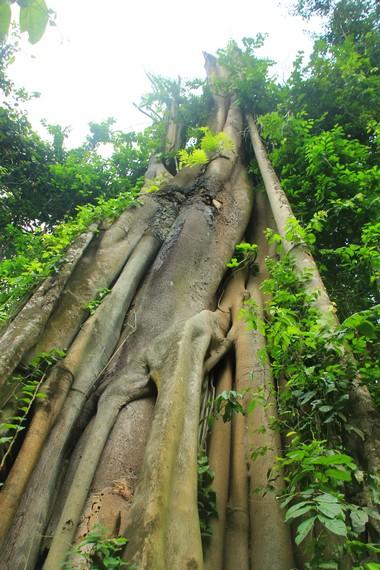 Pohon beringin yang menjulang tinggi hingga mencapai ketinggian 40 meter
