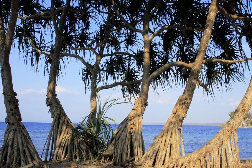 Pohon dengan bentuk unik menjadi salah satu keindahan saat mengunjungi Pantai Kencana