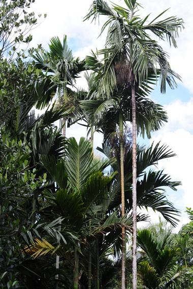 Pohon pinang yang umumnya dapat tumbuh hingga 5-6 meter dari atas permukaan tanah