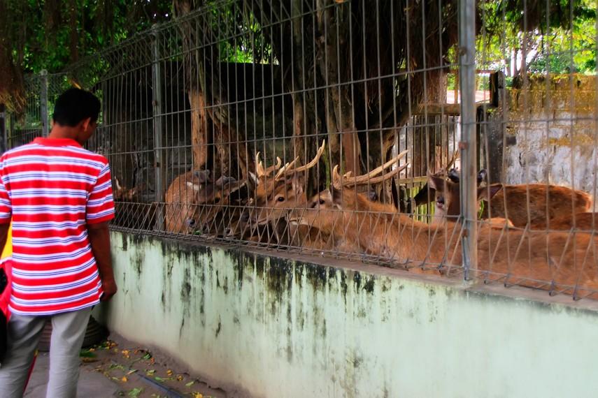 Rusa-rusa yang diberi makan oleh para pengunjung di Kebun Binatang Gembira Loka