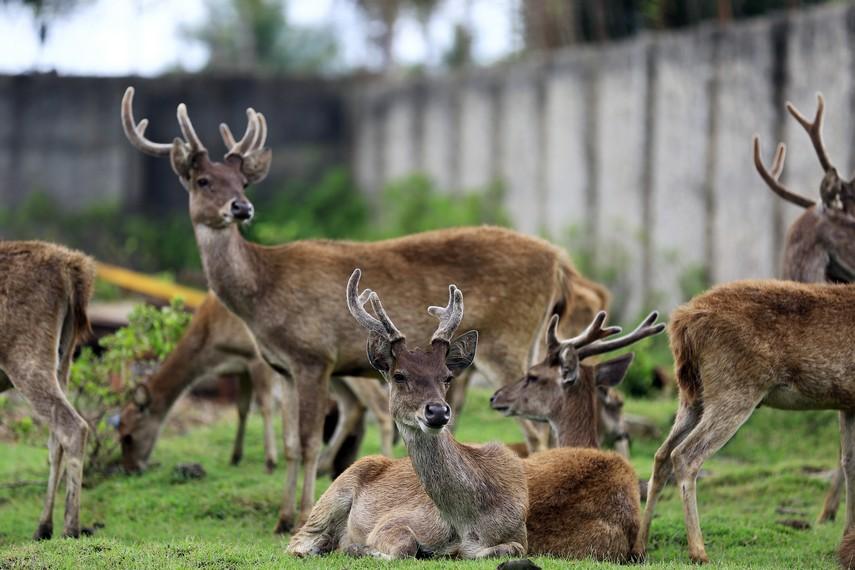 Rusa-rusa yang dikembang biakkan untuk menjadi bahan dasar makanan khas Merauke seperti dendeng dan abon