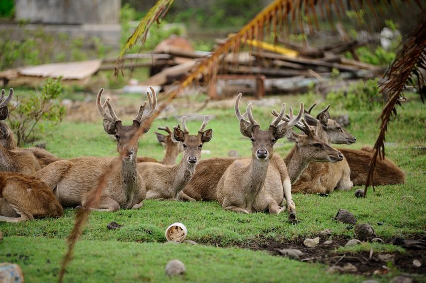 Rusa sebagai salah satu binatang yang ada di Merauke dan menjadi makanan khas berupa sate atau dendeng