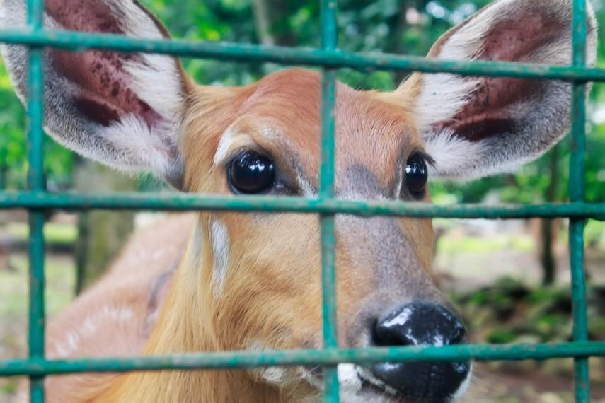 Rusa yang dibiarkan bebas berkeliaran di arena taman Kebun Binatang Ragunan