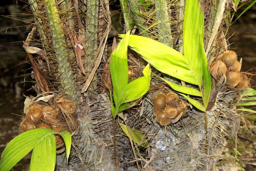 Salak Gading, salah satu salak hasil budidaya di Desa Wisata Agro Bangunkerto