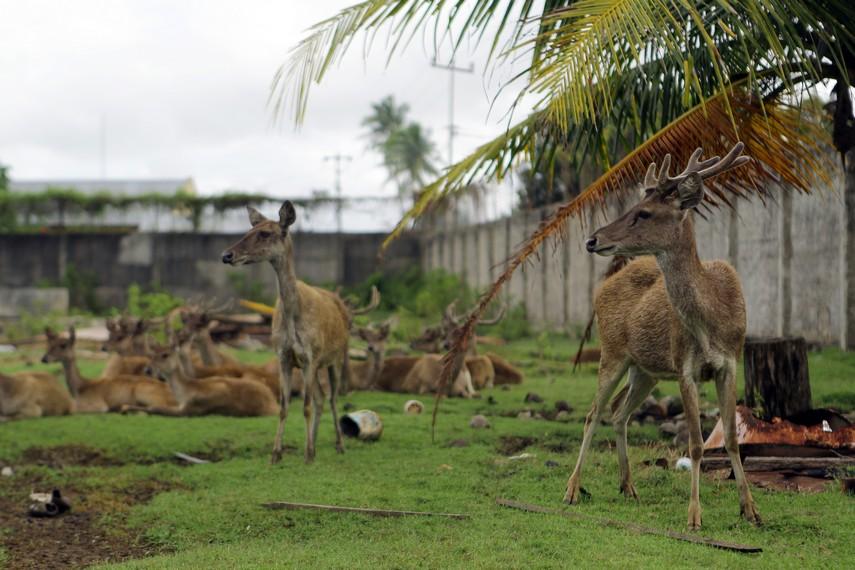 Sebuah penangkaran rusa yang ada di Merauke