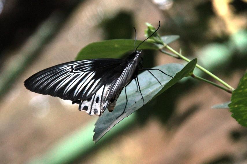 Perlu waktu 7 hari untuk melihat proses metamorfosis kepompong menjadi kupu-kupu