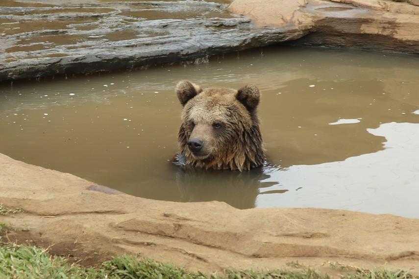 Seekor beruang sedang mandi dan terlihat hidup seperti dihabitat aslinya
