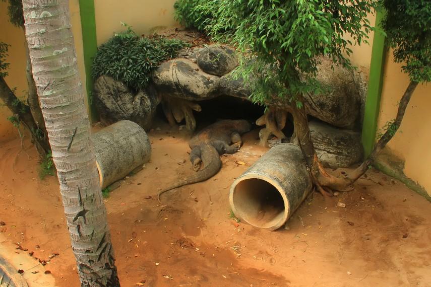 Seekor komodo yang hidup seperti di habitatnya di Pulau Komodo bisa dilihat di Museum Komodo dan Taman Reptilia