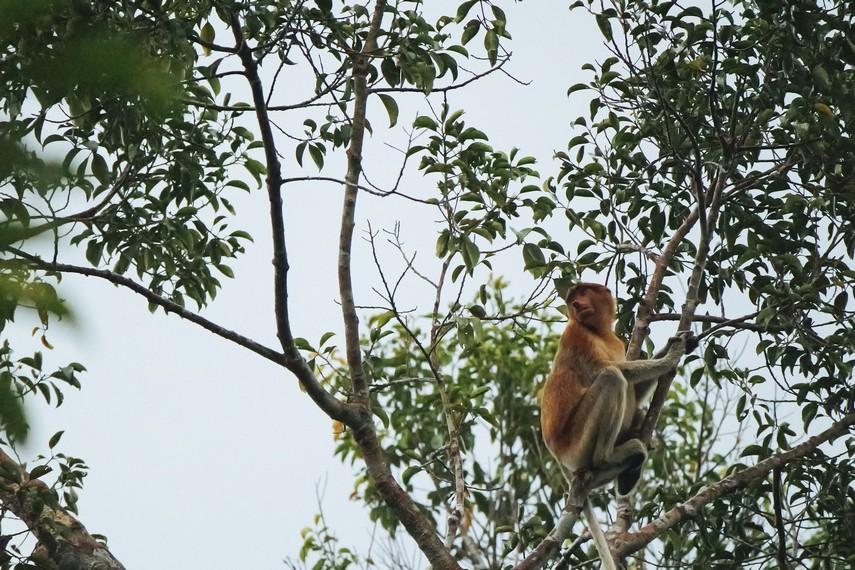 Selain Orangutan, Bekantan (Nasalis Larvatus) juga dapat dijumpai juga di pohon-pohon sepanjang Sungai Sekonyer