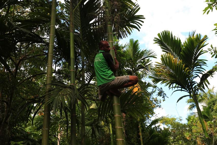 Seorang Bapak yang sedang memanjat pohon pinang untuk memetik buahnya