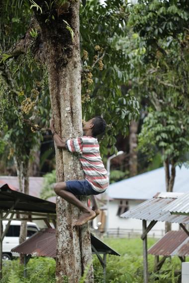 Seorang anak sedang memetik buah langsat langsung di atas pohon