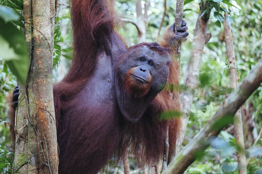 Si Gundul, Bos hutan di camp Tanjung Harapan