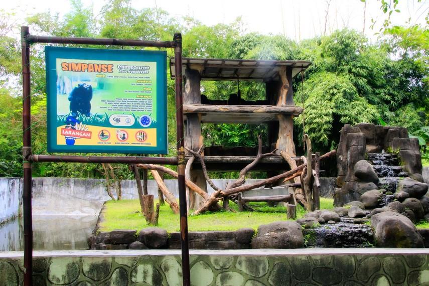 Simpanse yang hidup seperti dalam habitatnya di Kebun Binatang Gembira Loka