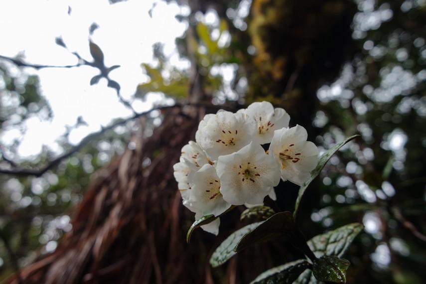 Terdapat lebih dari 800 jenis tumbuhan dari bermacam- macam famili, salah satunya bunga cantik Rhododendron