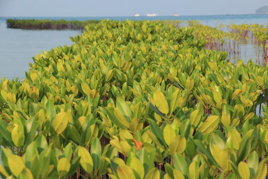 Pemandangan hijaunya tumbuhan bakau yang tersaji di  Pulau Semak Daun