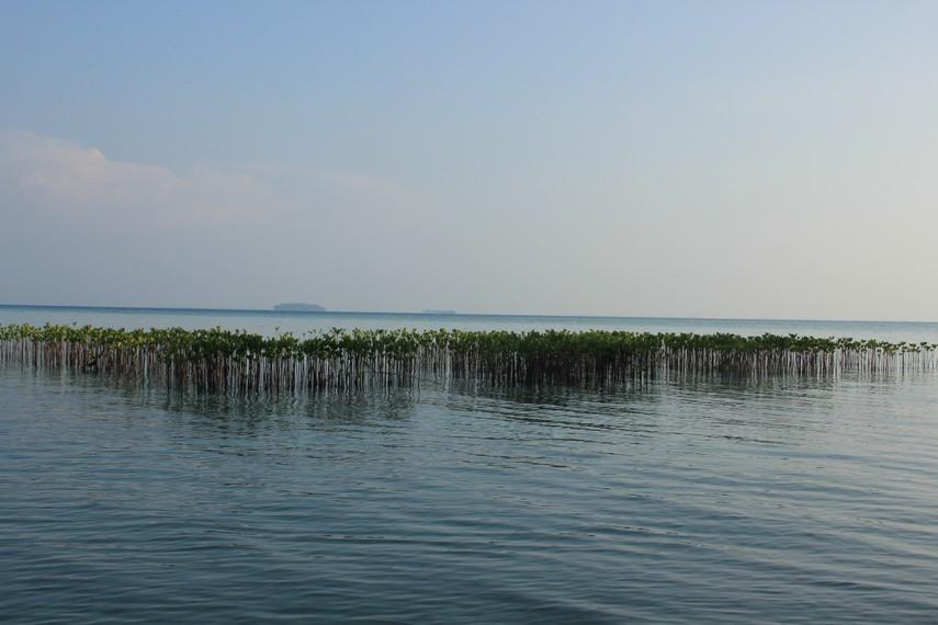 Pemandangan pepohonan bakau yang tumbuh di sekitar pantai Pulau Semak Daun