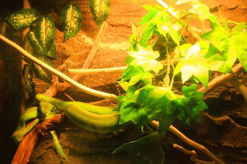 Ular sanca hijau salah satu hewan langka yang bisa kita lihat di Museum Komodo dan Taman Reptilia