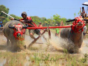 Menyaksikan Serunya Tradisi Barapan Kebo di Sumbawa Barat