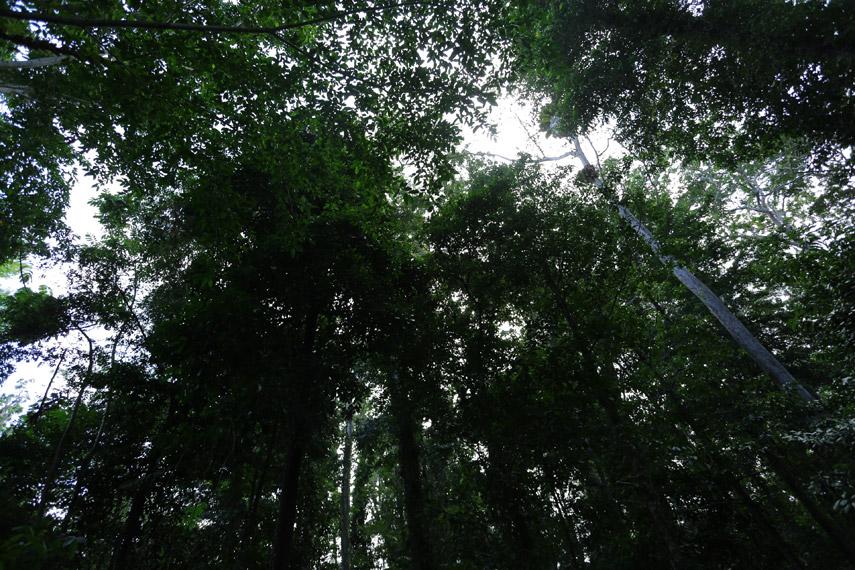 Pepohonan tropis yang begitu tinggi dapat kita temui di Gunung Meja