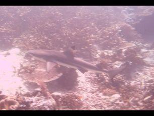 Secercah Harapan Dalam Habitat Ikan Hiu Raja Ampat