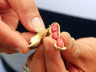 Melihat Proses Pembuatan Kacang Sangrai di Kawangkoan