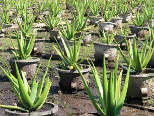Melihat Budidaya Tanaman Lidah Buaya di UPTD Agribisnis