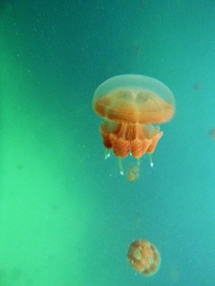 Ubur-ubur stingless yang unik di perairan Derawan